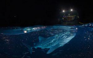 با تور مجازی به دیدن کوسه نهنگ ها در آبهای مالدیو بروید