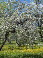 تور مجازی شکوفه های سیب در مجموعه کولومنسکه مسکو