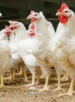 فناوری جدید جایگزین گوشت؛ پَر مرغ میل دارید؟