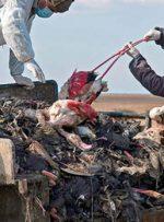 مرگ پرندههای میانکاله؛ مرور یک تراژدی