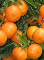 افزایش ۱۰برابری قیمت پرتقال از باغ تا مغازه