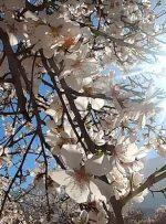 ویدئو / باغهای بادام و انار مهارلو در آستانه بهار