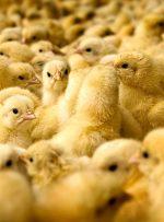 امکان التهاب در بازار با کاهش 10 درصدی تولید جوجه / چالش جدید تولیدکنندگان؛ کمبود شدید جوجه