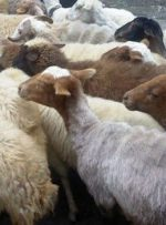آلودگی شیر گوسفند و بزهای مناطق جنوبی ایران به یک انگل خطرناک