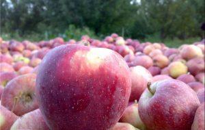 سیب را از کشاورز ۵۰۰ تومان میخرند/قیمتها نجومی میوه نصیب چه کسانی میشود؟