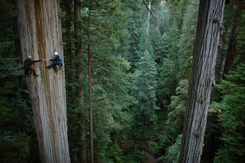 اندازه گیری ارتفاع درختان چوب سرخ
