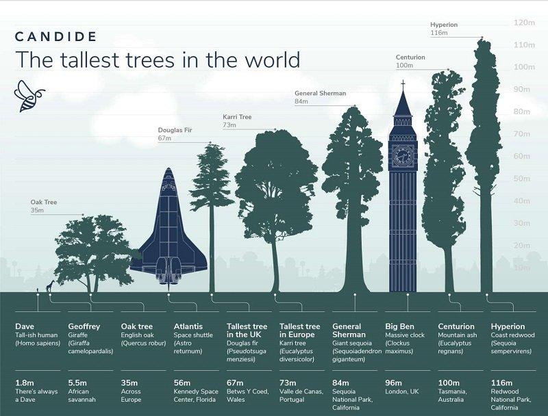 مقایسه بلندترین درخت جهان با باقی درختان