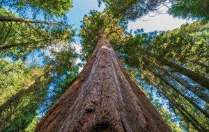 بلندترین درخت جهان کجاست؟ – کجارو