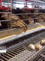 قیمت گوشت بلدرچین اعلام شد